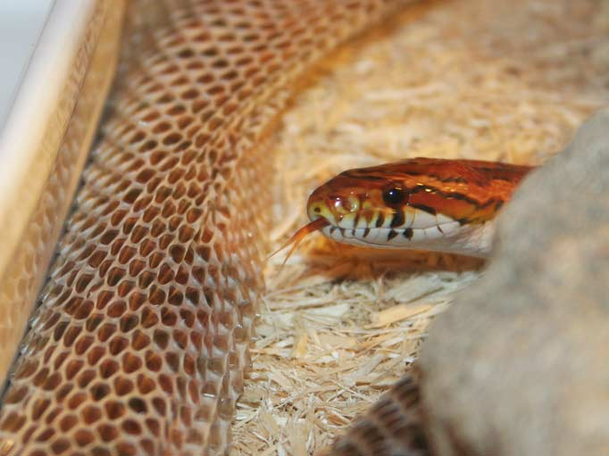 The Corn Snake Co Uk Corn Snake Care Sheet Information About