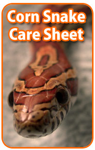 Corn Snake Care Sheet