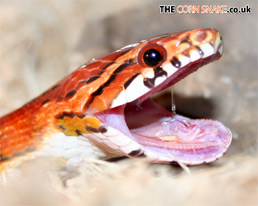 The Corn Snake.co.uk Desktop Wallpaper download