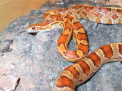Corn snake coiled on hide