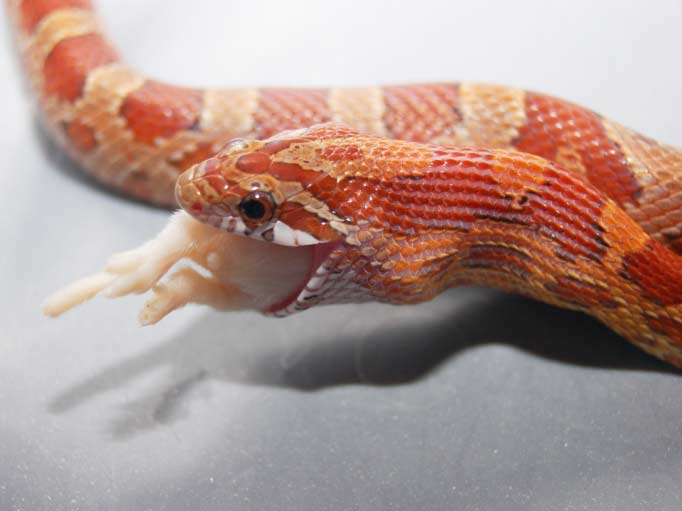 Images of Corn Snakes Click Here For More Corn Snake