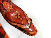 Sid the Corn Snake - Head photograph - Close up