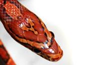 Sid the Corn Snake - Head photograph - Close up