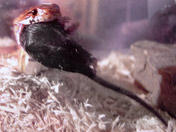 Corn snake eating a large mouse