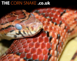 The Corn Snake.co.uk Desktop Wallpaper dowload